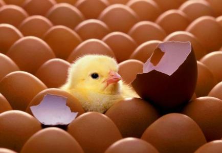 图说鸡蛋的真相——鸡蛋为何不能吃