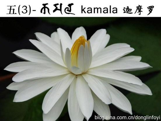 五种佛教的莲花