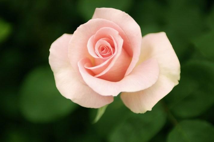 花不是玫瑰的全部