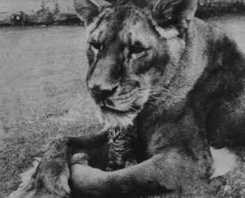 [转载]【素食开示】一只吃素的狮子,感动了全世界